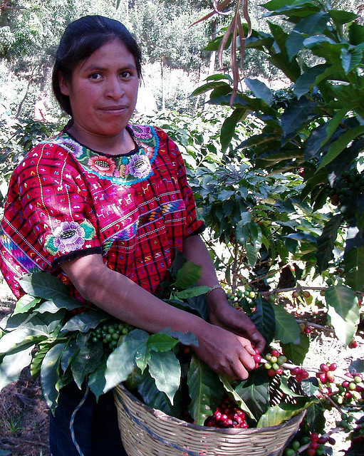 coffee harvesting, guatemala