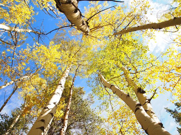aspen trees - Rocky Mountains, Colorado
