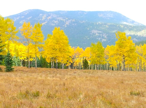 Aspen trees - photo by Teresa Sanctis